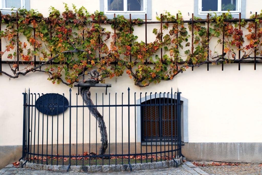 Stara trta, Maribor, Slovinsko