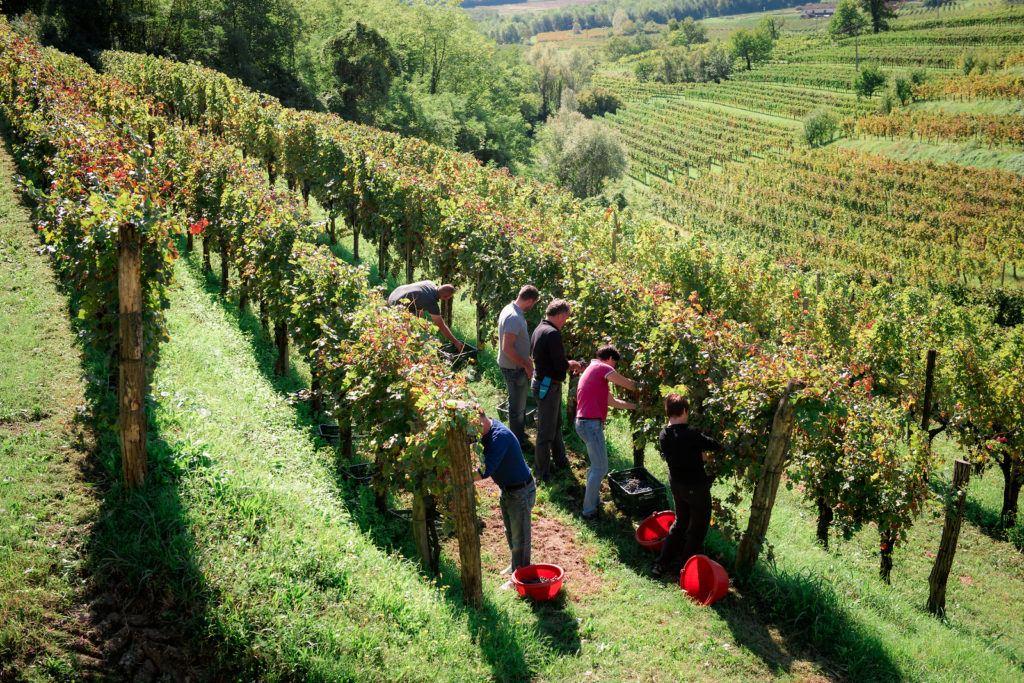 Vinobraní, Slovinsko. Foto: Dean Dubokovič