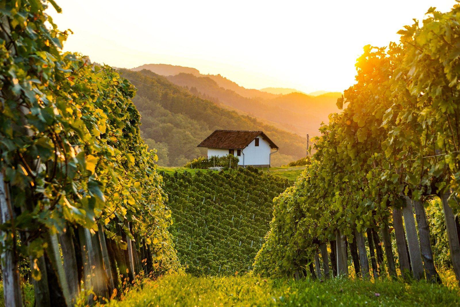 Vinohrad, Slovinsko. Foto: Slovenska turistična agecija