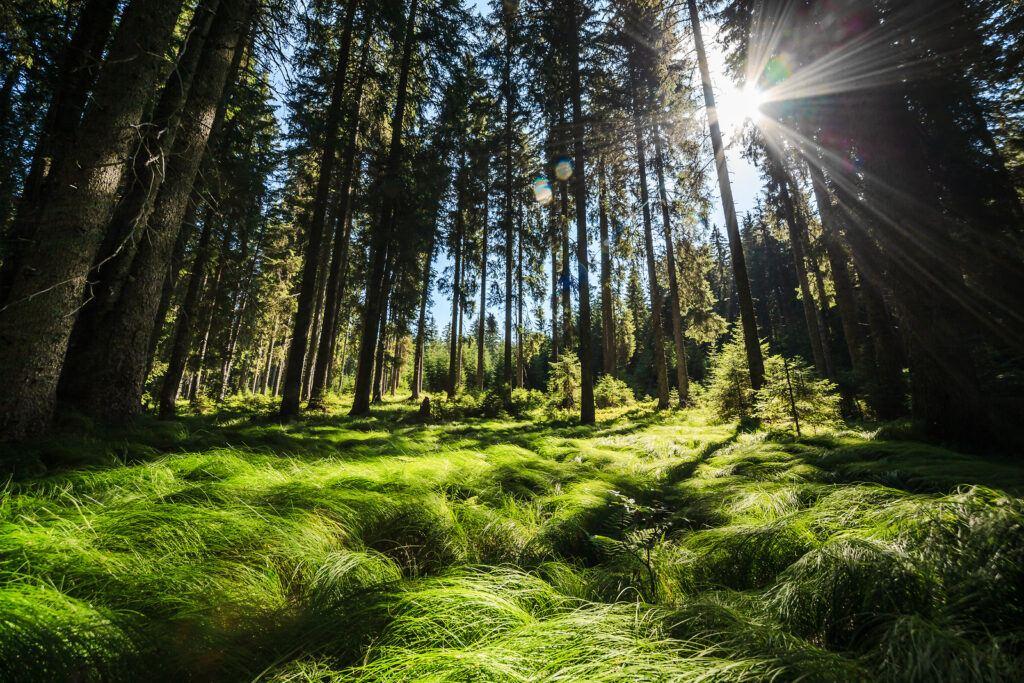 Les na planině Pokljuka, Slovinsko