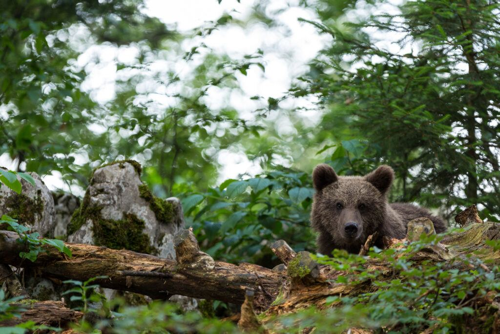 Medvěd, Slovinsko