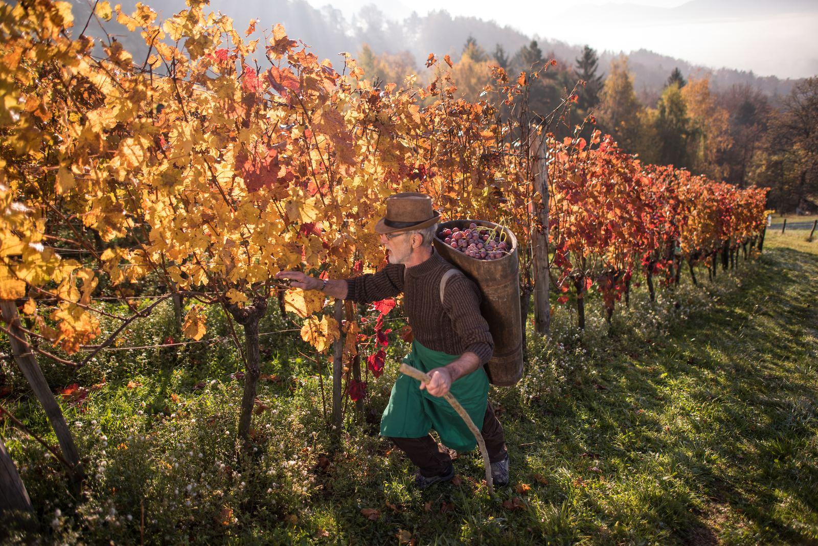 Sklizeň vína, Slovinsko. Foto: Iztok Medja