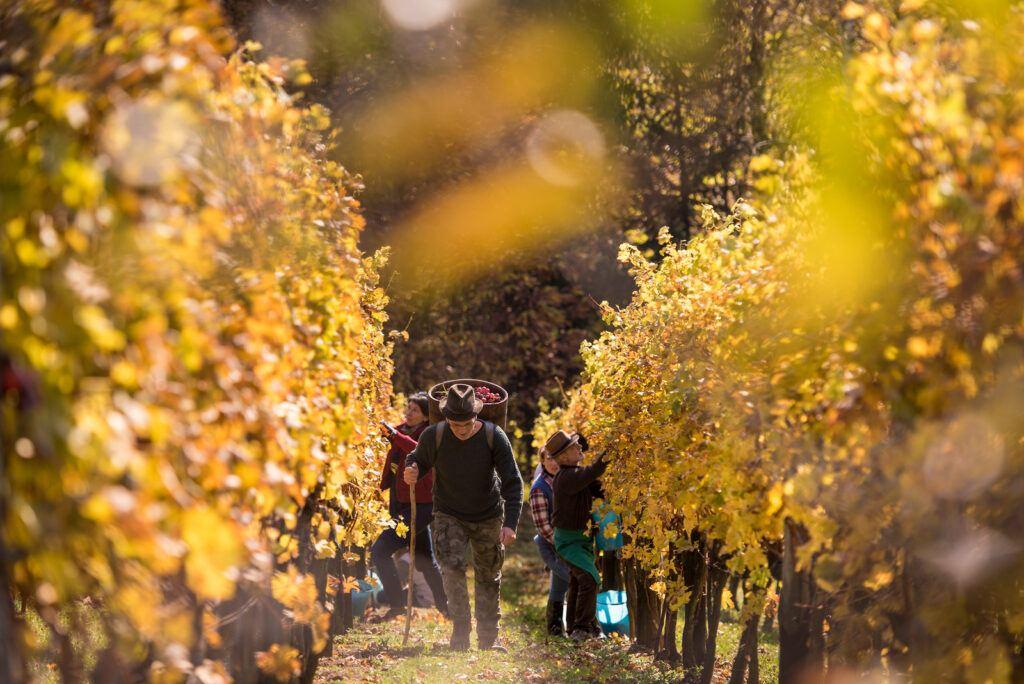 Vinobraní ve Slovinsku